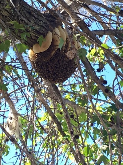 Swarms Capital Area Beekeepers